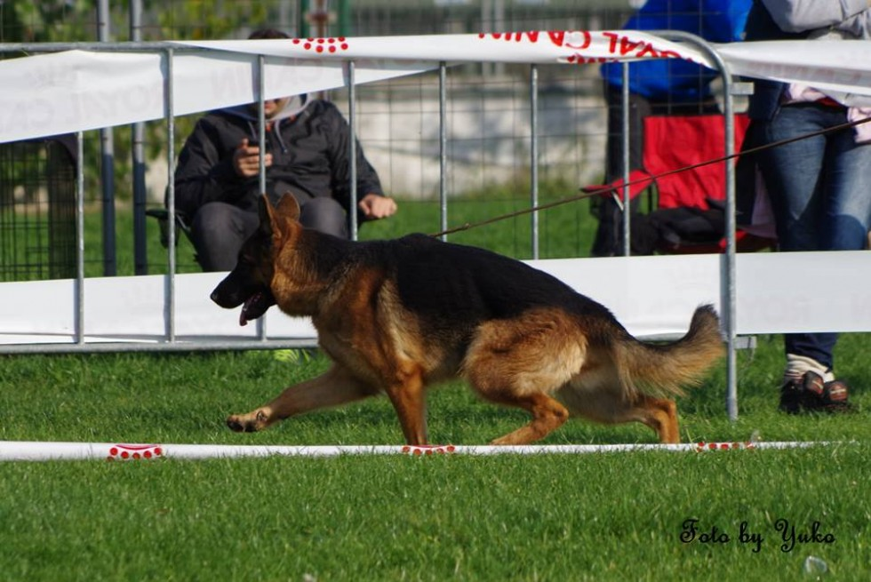 Canisa Dog Cosmino http://ciobanescgerman.eu